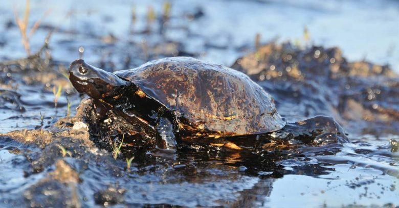 Tartaruga coberta com petróleo proveniente do vazamento de óleo
