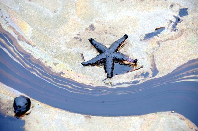 Estrela do mar sofre com vazamento de óleo no seu habitat